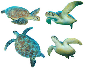 Green Sea Turtles isolated on white