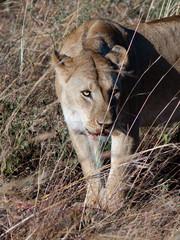 Adult lioness looks askance