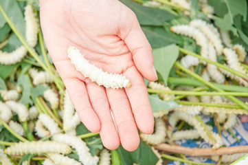 Silkworm larvae on hand