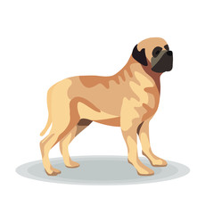 St Bernard on White Background