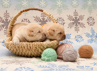 Fotobehang - adorable labrador retriever puppies