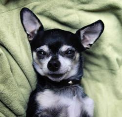 a cute birthday chihuahua on a green blanket
