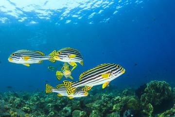 School of Fish: Oriental Sweetlips