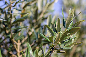 Olive tree with small leaves
