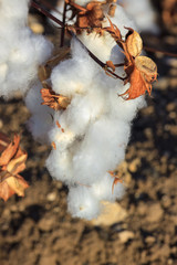 Big ripe cotton buds bloom