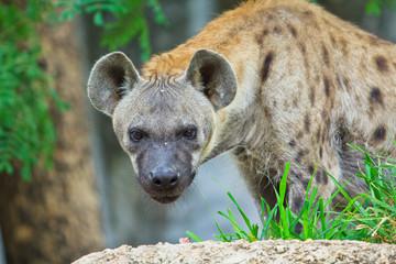 Foto auf Acrylglas Hyane Hyena