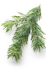 Twig of evergreen fir