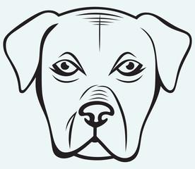 Boxer dog isolated on blue background