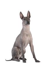 Xoloitzcuintle dog sitting against white background