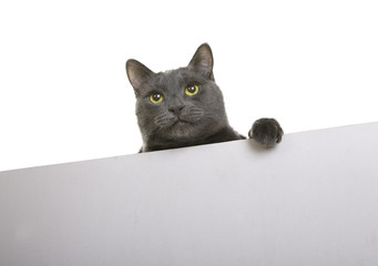 Cute cat with placard or banner for your text, isolated (sign)