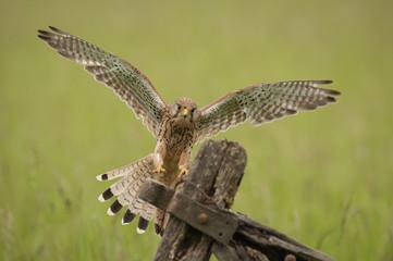 A female Kestrel landing on an old farm gate.