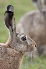 Hare in the wild, profile.