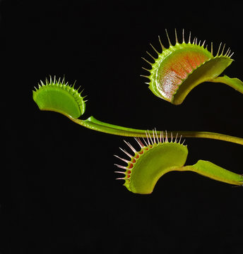 venus fly trap leafs on black background
