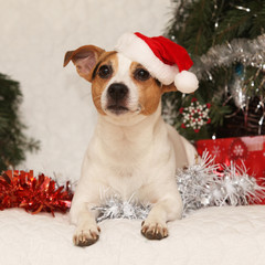 Gorgeous lying Jack russell terrier with Santa hat in a christma