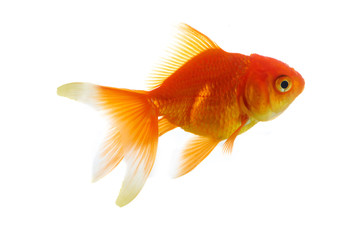Red fish on white a