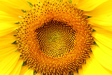 close up sunflower blooming