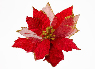Christmas Flower Isolated. Euphorbia Pulcherrima