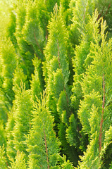 Bright Thuja Closeup