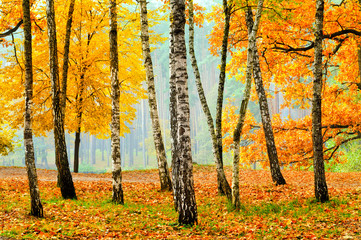 Birches in the fall park