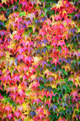 Grape Ivy leaves on a wall