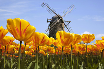 Fototapeta Tulpen in  Holland mit Windmühle
