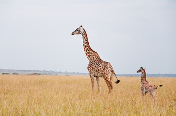 female giraffe with baby in the savannah in east africa