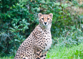 cheetah sitting in the grass looking at camera