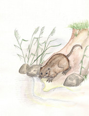 Nutria. watercolor