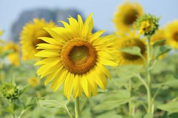 sunflower in field