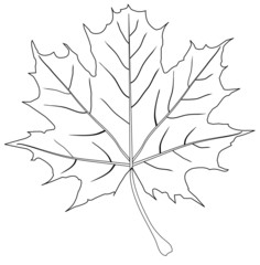 vector maple leaf outline