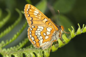Scarce Fritillary, Euphydryas maturna