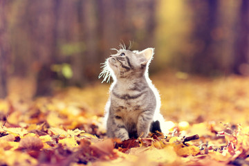 British kitten in autumn park, fallen leaves