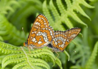 Mating Scarce Fritillary, Euphydryas maturna
