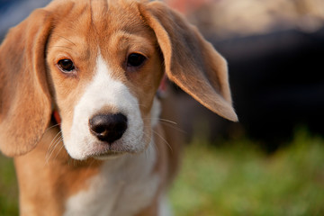 Outdoor beagle puppy portrait