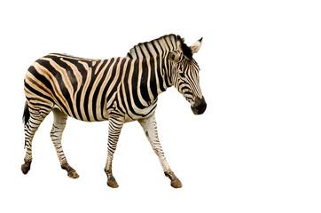 Zebra - isolated