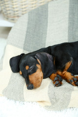Little cute dachshund puppy