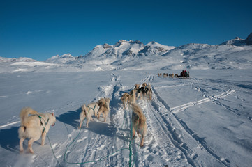 Greenlandic sled dogs running
