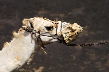 africa brown dromedary   timanfaya lanzarote spain