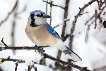 Fotoväggar - Blue Jay In Snow