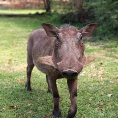 Warzenschweine in Zimbabwe