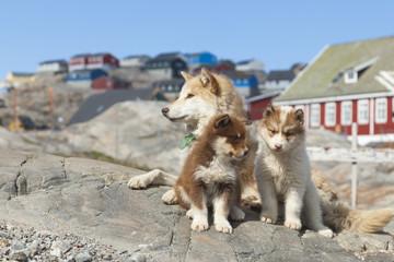 Hunde i Uummannaq