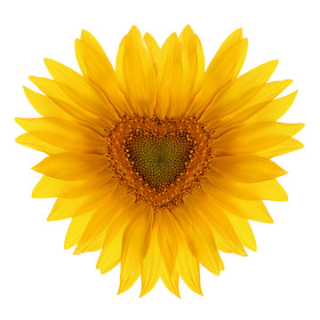 Sunflower flower in the shape of heart