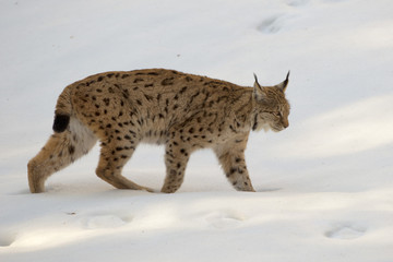 lynx in the snow while hunting