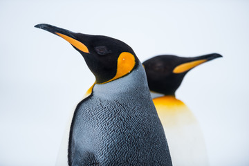 Fotobehang Pinguin King Penguin Couple in love