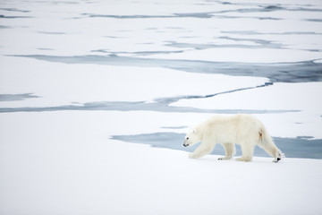 Acrylic Prints Arctic Polar bear at Svalbard