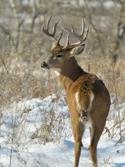 Fototapete - Whitetail Deer