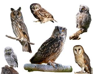 European owls isolated on white