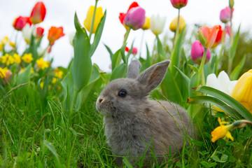Hase in Tulpen