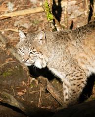 Wild Animal Bobcat Walking Stalking Through Woods