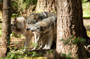 Wild Animal Wolf Pack Standing Playing North American Wildlife